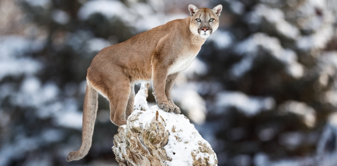 Cougar photo by iStock