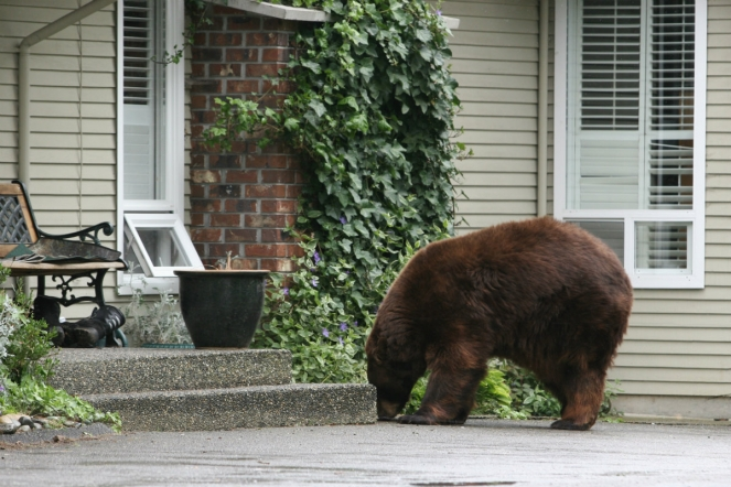 Bear next to residence