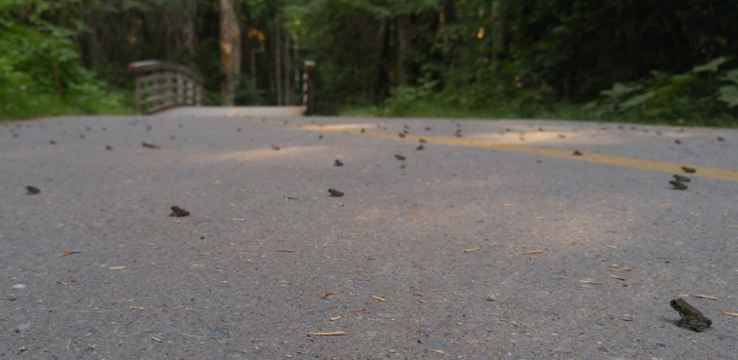 Toad migration on the Valley Trail at Lost Lake Park image