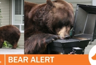April 1, 2021- Bears accessing barbecues in Whistler