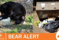 August 18, 2020- Bear destroyed at Cal-Cheak Campground