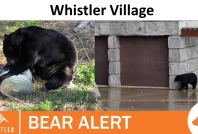 November 10, 2020- Bears accessing garbage facilities in Whistler Village