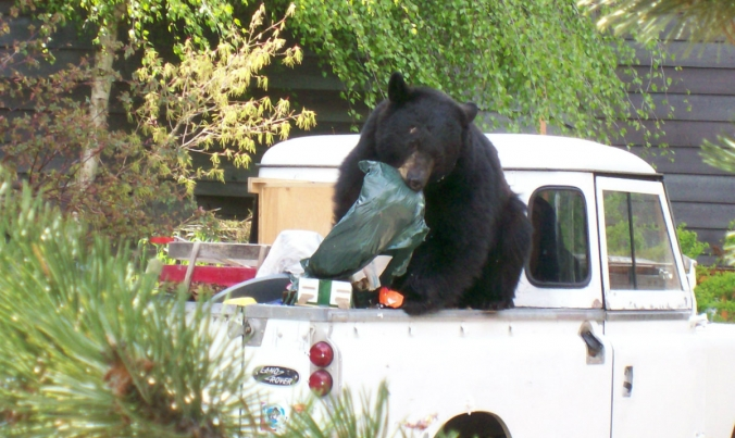 Bear and garbage in truck