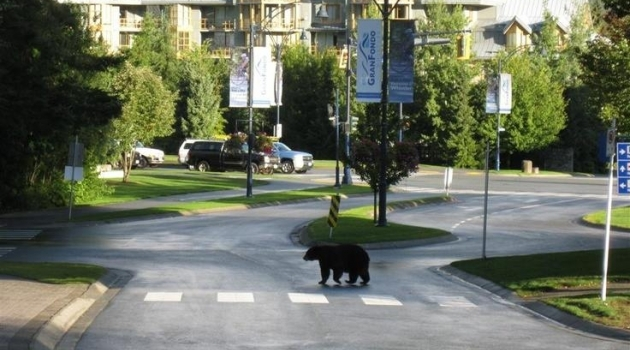 Bear crossing street photo by Bear Smart