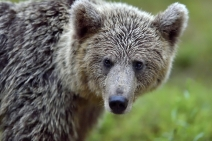 Grizzly photo by iStock