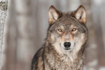 Grey wolf photo by iStock